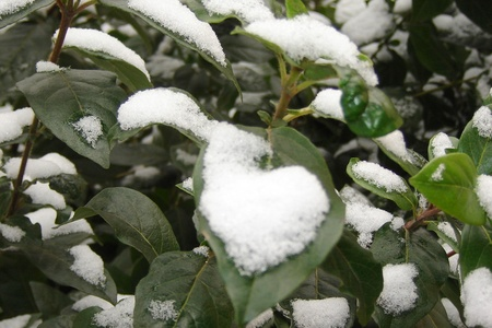 Snow with leaves photo