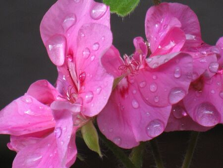 Geranium after rain  photo