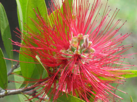 Callistemon  photo