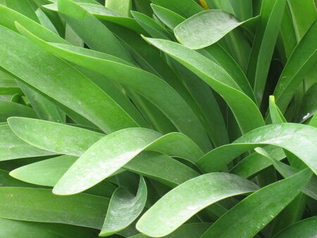 Agapanthus leafs Stock Photo