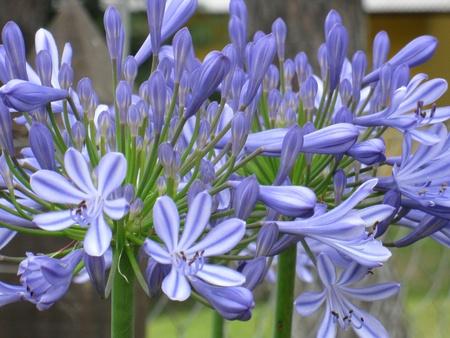 Agapanthus bloemen