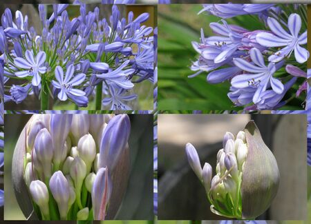 Agapanthus collage  photo