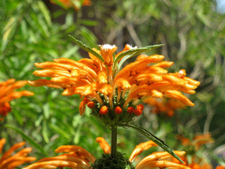 Leonotis leonorus bloem 1