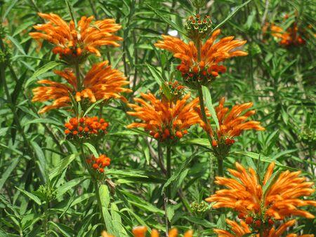 Leonotis leonorus flowers 2 Stock Photo
