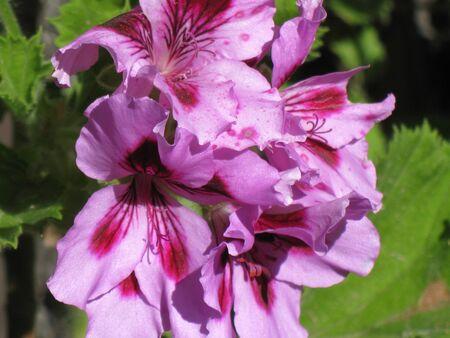 bicolor: Bicolor geranium 4 Stock Photo
