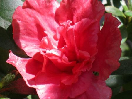 ericaceae: Azalea 11