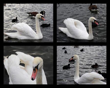 hyde: Hyde Park Swans