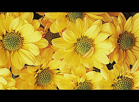 Daisy flowers (cinemascope) photo