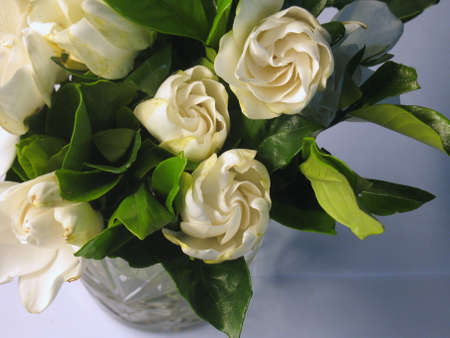 gardenia: Gardenia flowers Stock Photo