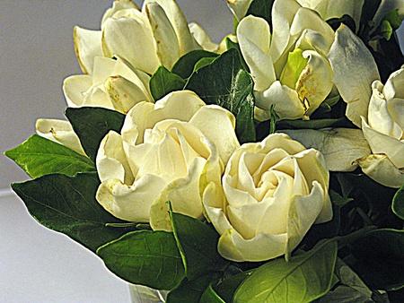 Gardenia bloemen (HDR)