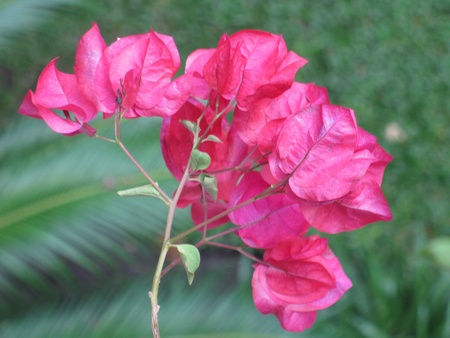 Bougainvillea Stock Photo - 17758645