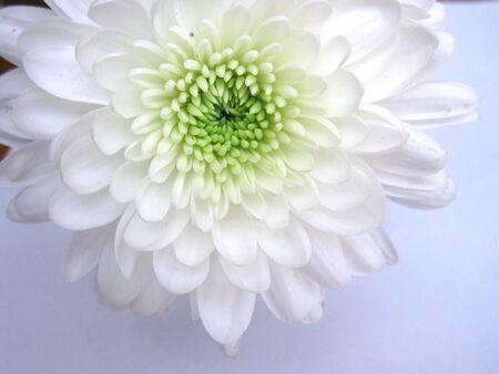 White dahlia photo