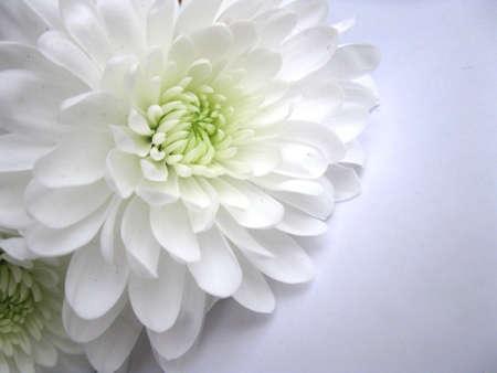 Witte dahlia Stockfoto