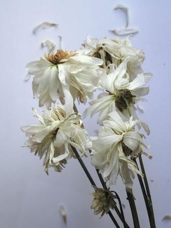 Fading flowers Stock Photo - 22085900