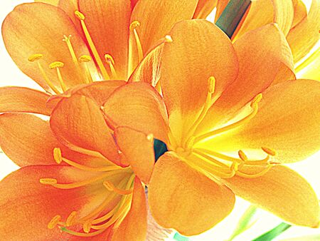 Clivia flowers HDR photo
