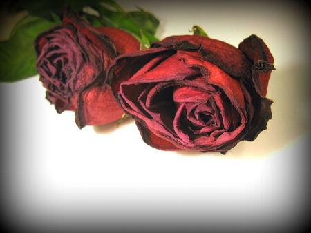 fading: Fading rose Stock Photo