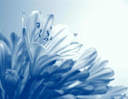 Agapanthus flowers Stockfoto
