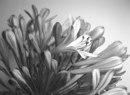 Agapanthus flowers photo