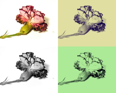 carnations: Fading carnations