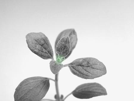 Oregano leaves Stock Photo