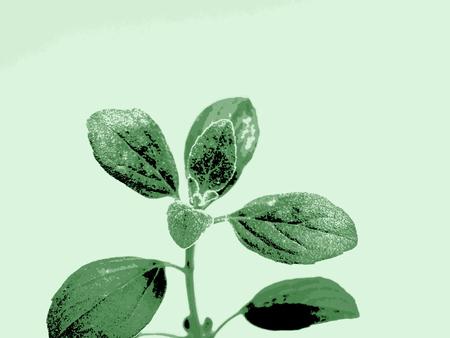 oregano: Oregano leaves Stock Photo