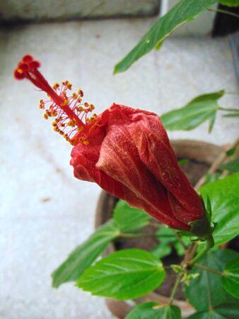 Fading hibiscus rose