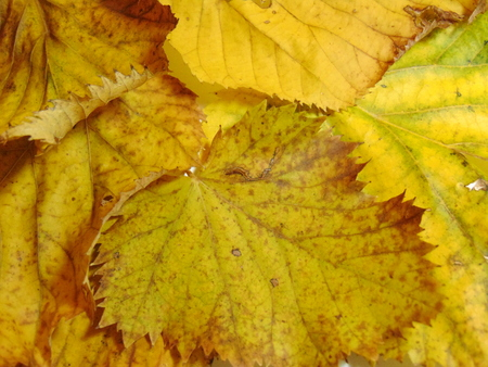 Linden leaves Imagens