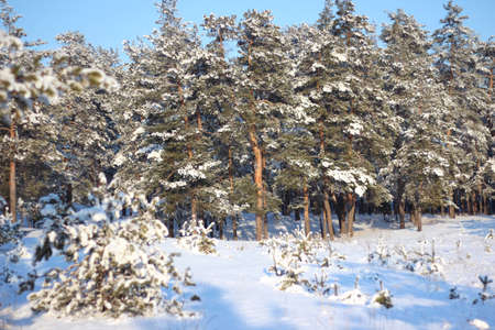 Snowy forest on a bright sunny day. Frosty winter day in a beautiful forest before Christmas. Imagens