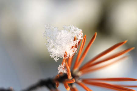 Close up view of real crystal snow flakes on red orange pine needle on defocused background