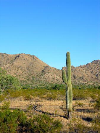 sonoran: Arizona desert saguaro cactus