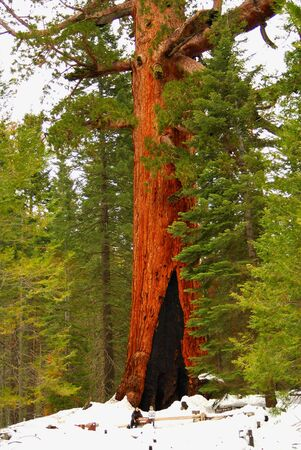 ravel: Giant sequoia with people for scale