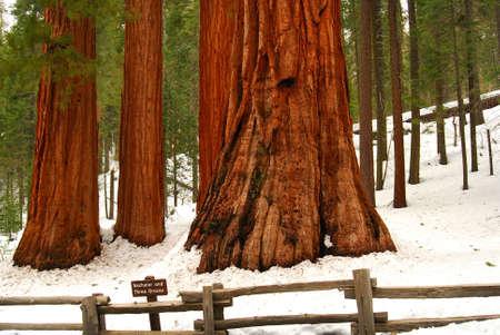 ravel: Giant Sequoias in winter