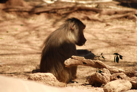 Baboon eating at sunset