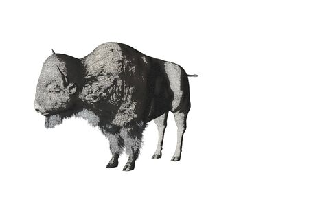Isolated color pencil sketch of bison
