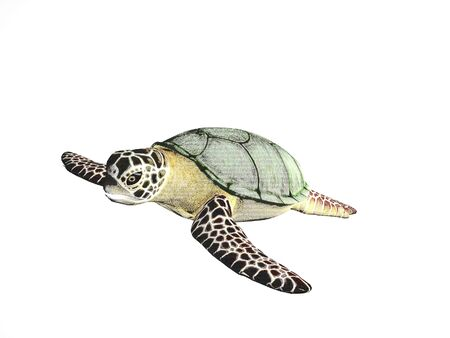 pencil sketch: Pencil sketch turtle on an isolated background