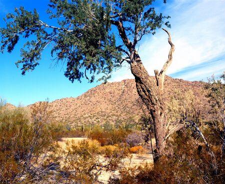 Old desert tree still hanging on to life photo