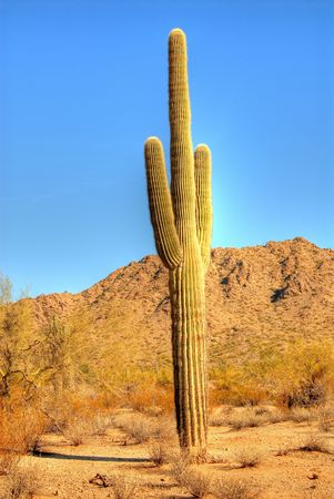 saguaro: Saguaro cactus in the winter Arizona desert