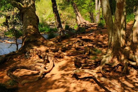floor covering: Snake-like tree roots covering the forest floor