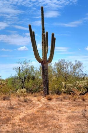 Cereus giganteus Saguaro cactus in the summer Arizona desert photo