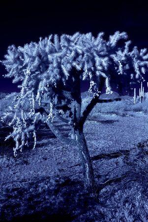 cholla cactus: Moonlight cholla cactus in the winter Arizona desert