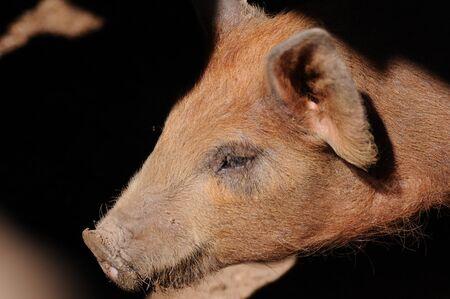 Nahaufnahme eines Schweins mit flacher Schärfentiefe Standard-Bild - 9109617
