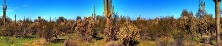 Saguaro cactus in the winter arizona desert panorama