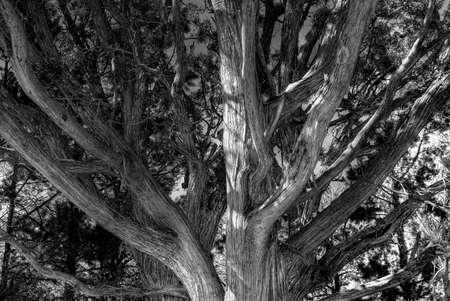 Monochrome close up of a juniper tree Stok Fotoğraf