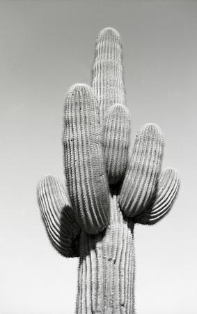 Black and white closeup of a Saguaro Cactus 스톡 콘텐츠