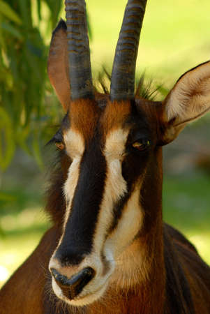 sable: A Portrait of sable antelope (hippotragus niger).  Stock Photo