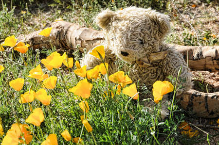 A teddy bear smelling desert wildflowers photo