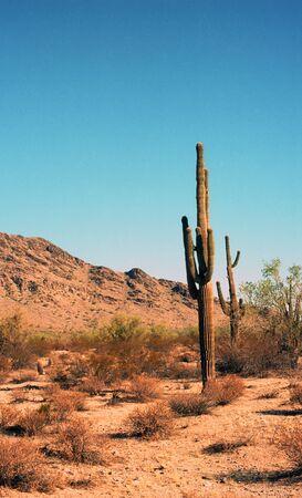 Saguaro cactus in the Arizona mountains photo