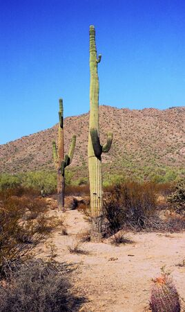 saguaro cactus in the Arizona mountains  photo