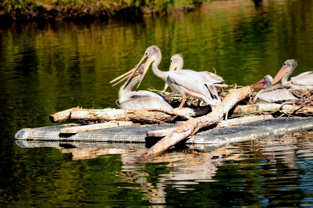 Several White pelicans afloat on a raft photo