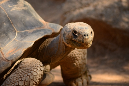 Close up image of a giant tortoise Stock Photo